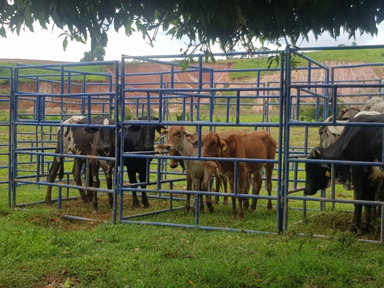 São Sebastião da Bela Vista realiza leilão de gado em prol do HCSL